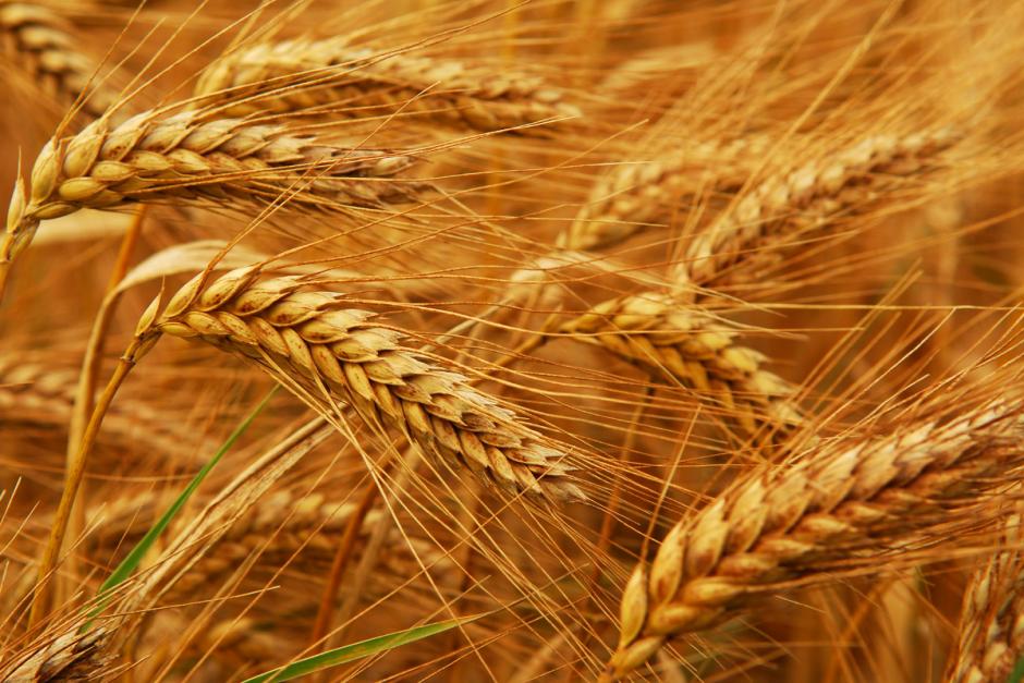 Buğday Çekirdeğinin Embriyosu Ruşeym 1200x800
