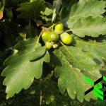 Meşe, Kayıngiller Fagaceae peyzaj3m 2592x1944